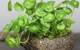 這樣種銅錢草,一棵比爆盆,逼格高了不是一點半點!