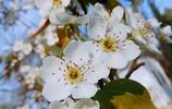 近看梨花淺淺白,遠觀梨樹淡淡青