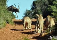 羚羊絕望了?前有三獅堵截,後還有雌獅追獵