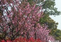 北侖小浹江公園真是個寶藏!櫻花、海棠、薰衣草、油菜花都開了!
