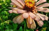 百日草花開正盛,福州花海公園展現美麗妝容
