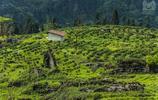 在四川偶遇一個茶園   它們出產秀麗的風景和一種紫色的茶葉