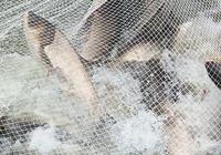 鱖魚養殖喂什麼飼料?餌料魚怎麼選擇和培育?附鱖魚養殖技術