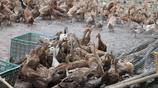 厲害了我的鴨!養殖十萬只鴨子,場面太壯觀!