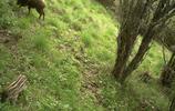 大山的精靈真神奇,實拍野外神農架野生動物,紅外監控原圖(11)
