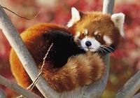 大家都是熊貓,還是國家保護動物,可命運怎麼差這麼多?