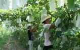 """葡萄園就出現""""白色袋子""""一串葡萄都不見,卻稱這樣比較賺錢"""