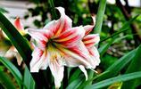 植物花卉:朱頂紅