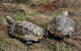 凹甲陸龜:形態特徵