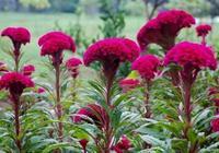 這種植物因為長得喜慶,常被種在家中,知道它價值的人卻很少