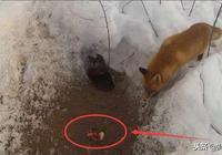 狐狸到底有多聰明?看它是如何從獵人陷阱下偷吃的吧!智商太高了