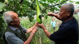 """農村老家裡的一種""""砍瓜"""":越砍它長得越快,種出一個能吃三個月"""