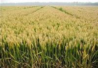 小麥當中有轉基因小麥嗎?