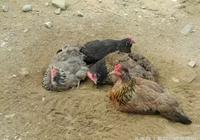 養雞——沙子對散養雞的六大好處