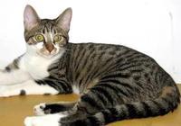 中國家貓品種羅列
