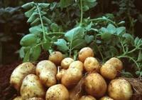鄉下種植土豆要施肥嗎?有什麼注意事項?