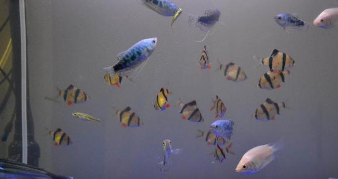動物圖集:藍曼龍