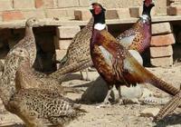 山東農戶靠養殖山雞致富,年純收入達6萬