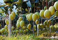 四川為什麼可以種植芒果和荔枝等熱帶和亞熱帶水果?同緯度的省份也可以種植嗎?為什麼?