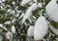 獼猴桃樹冬天怕凍嗎?