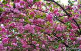 櫻花節期間的 成都青白江鳳凰湖溼地公園