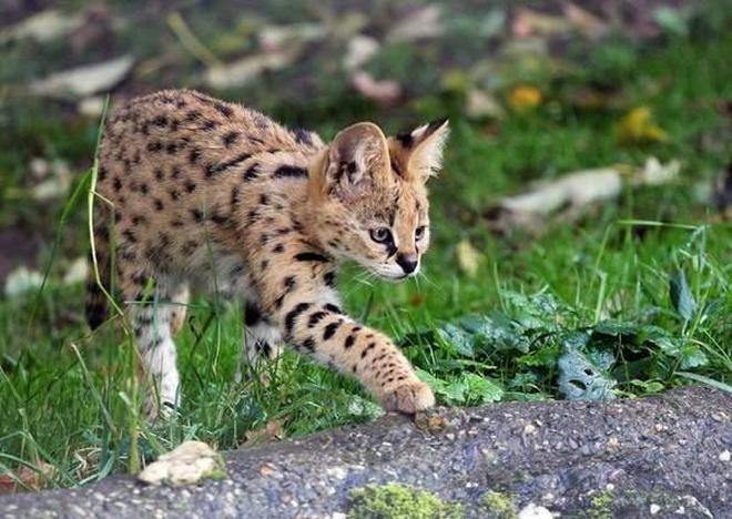 地球上6大被禁養的名貓,第一個被稱為國獸,你知道嗎?