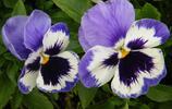 植物圖集:為什麼很多人喜歡三色堇?背後的故事引人深思