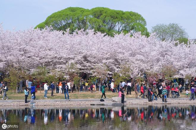 如果你要問我北京哪裡觀賞櫻花最合適,我首選這個地方!真美!
