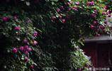 薔薇花包圍了古城汝南這條老街,住了30年的我竟然不知道