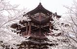 西安青龍寺早櫻盛開如漫天雲霞,最佳賞櫻期雖未到但已遊人如織
