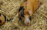 動物圖集:大花白豬