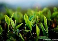 春季喝綠茶 你瞭解綠茶多少