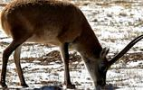 藏羚羊:歷史起源