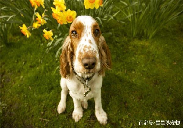 克倫伯獵鷸犬性格比較頑劣,訓練時要注意提防它們傷及主人