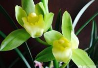 剛買的蘭花栽上兩三天出現葉尖發黑的情況是怎麼回事?該怎麼辦?