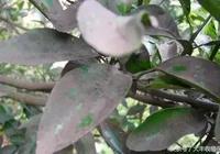 柑橘種植管理——8、9月份重點防治柑橘煤煙病