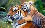 動物圖集:凶猛孟加拉老虎