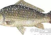 秋冬時節,小瓜蟲感染魚體及防控措施
