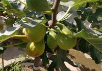 """盆栽無花果怎麼施肥?抓一把""""這個肥""""放盆裡,結果超多,大又甜"""