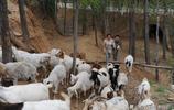 28歲女子在山裡養羊多年,她說羊是她家的寶,看她生活成啥樣子?