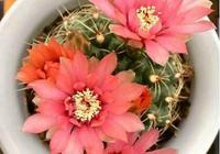 """陽臺就養這5種""""漂亮的花"""",簡單好養、開花多,隨便都能養爆盆"""