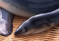 2017鰻魚價格多少錢一斤 鰻魚的功效與作用
