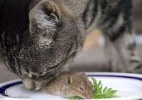 貓到底是喜歡吃魚還是老鼠?