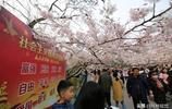 青島迎賞櫻花季