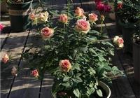 月季高手教你 種植月季從0開始到花開滿園