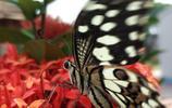 世界上有數以萬計的物種都歸在鱗翅目,小編帶您看蝴蝶