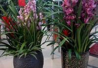 大花蕙蘭作為年花買回來,應該放在家裡那個位置?應該如何養護?