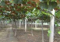 獼猴桃施基肥問題!秋施比春天施更好