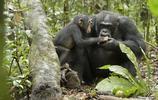動物圖集:可愛的黑猩猩
