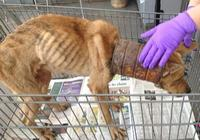 流浪狗的脖子被鐵桶套住,疑似被人故意虐待,好心的店員拯救了它